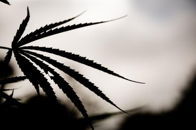 Closeup feuille marijuana cannabis
