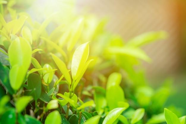 Closeup feuille verte et la lumière du soleil dans le jardin sur fond flou.