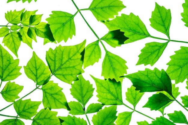 Closeup feuilles vertes fraîches isolés sur fond blanc