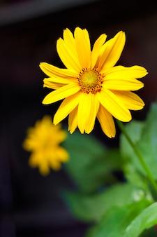 Closeup fleur héliopsis