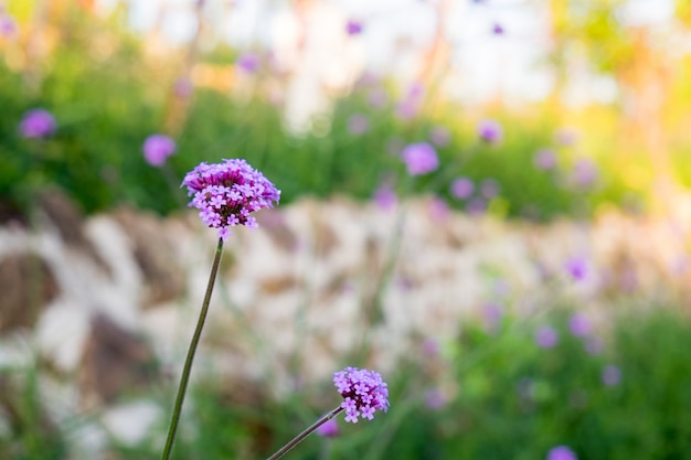 Closeup fleur pourpre verveine
