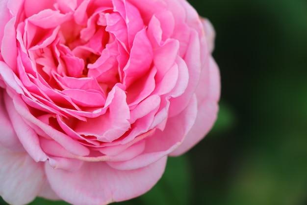 Closeup fleur rose fleur rose pour la saint valentin