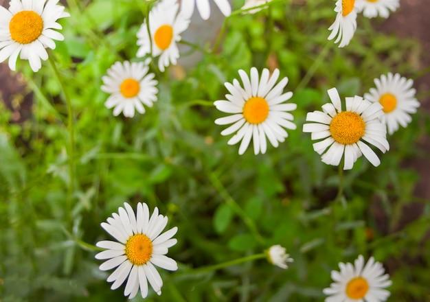Closeup fleurs de camomille des champs