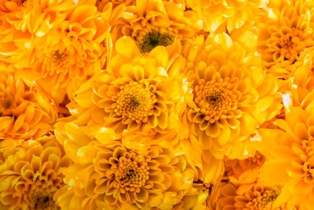 Closeup, fond, chrysanthème