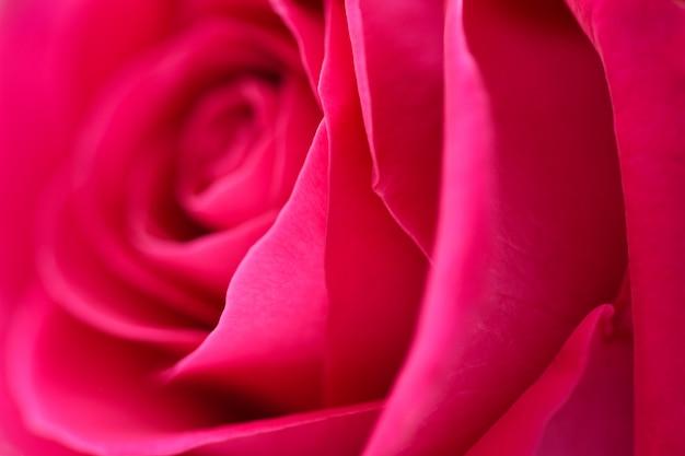 Closeup fond fleur rose rose