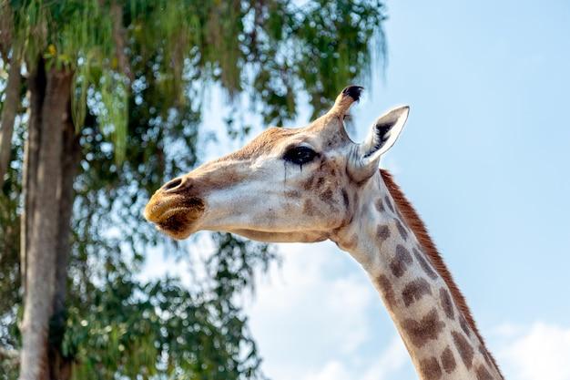 Closeup girafe