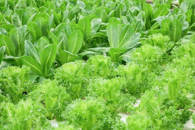 Closeup groupe de légume hydroponique frais sur fond texturé de ferme de légume