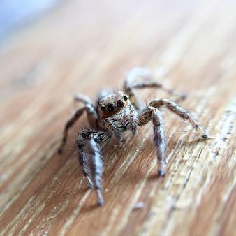 Closeup jumping spider sur le plancher en bois