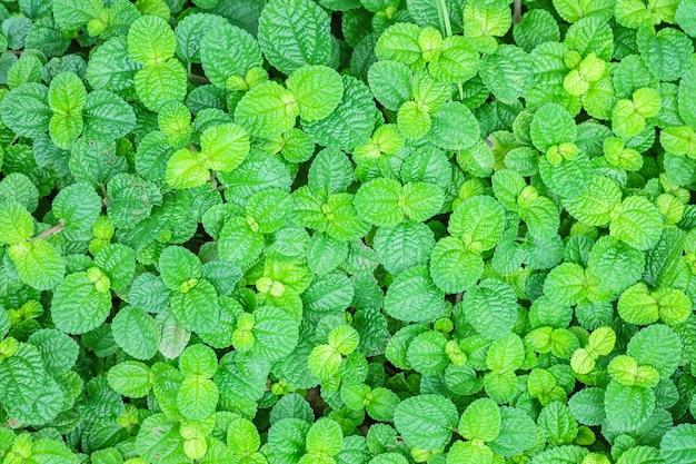 Closeup menthe verte fraîche feuilles fond texturé