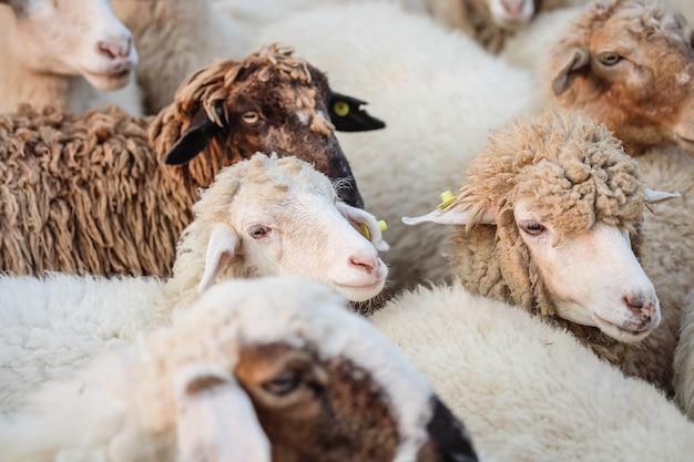 Closeup moutons attendent de la nourriture de touriste en fond de ferme