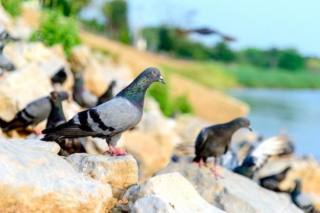 Closeup pigeon (colombe) avec flou artistique et sur fond de lumière