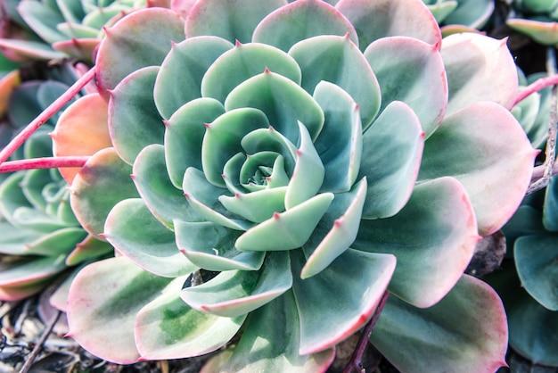 Closeup de plantes succulentes