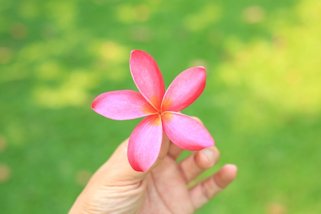 Closeup plumeria ou fleur de frangipanier dans la main sur fond d'herbe verte