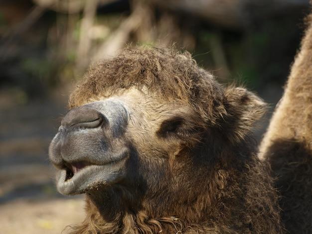 Closeup portrait de chameau ou dromadaire