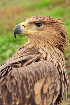 Closeup portrait jeune aigle dans l'herbe
