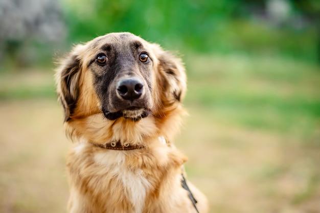 Closeup portrait of a cute brown dog