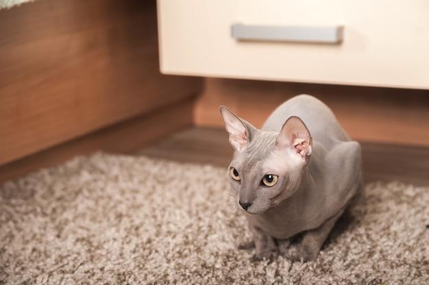 Closeup portrait of a home gray sphinx cat. le chat joue à la maison et copie l'espace.