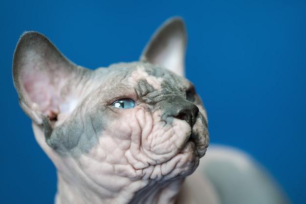 Closeup portrait de race de chat sphynx canadien connu pour son manque de fourrure de chat mâle sans poils