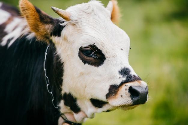 Closeup, portrait, de, vache, museau, pâturage, sur, les, ffield