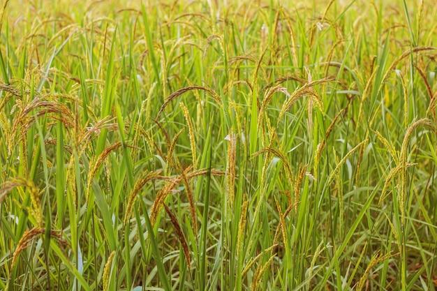 Closeup, rizière, rizières, thaïlande, saison récolte, nourriture nature riz