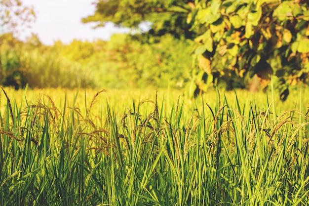 Closeup, rizière, rizières
