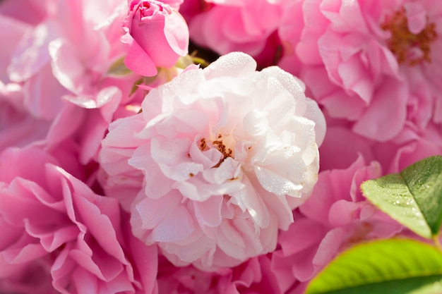 Closeup rosier rose sur fond de champ