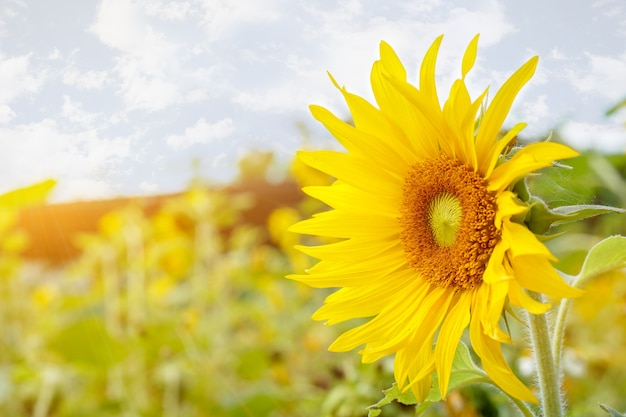 Closeup tournesol sur les fleurs de champ flou avec soleil flare et fond de ciel bleu.