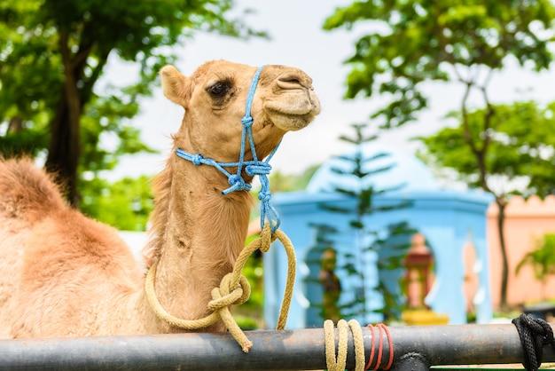 Closeup visage souriant de camel à la tête