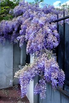 Clôture avec de belles glycines en fleurs le jour du printemps