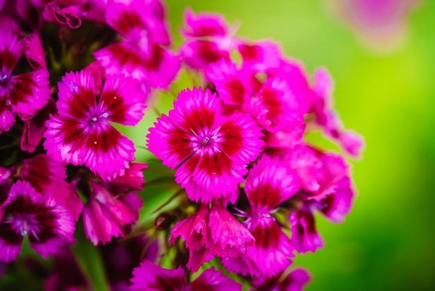 Les clous de girofle turcs en fleurs close up dianthus barbatus plantes de jardin fond fleur vivace