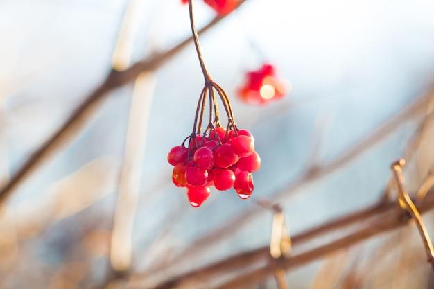 Clusterguelder rose avec des fruits rouges par temps ensoleillé