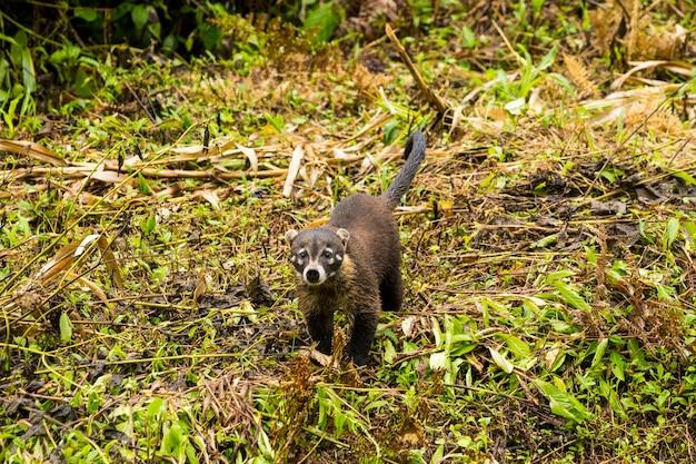 Coati à nez blanc dans la forêt tropicale, regardant la caméra