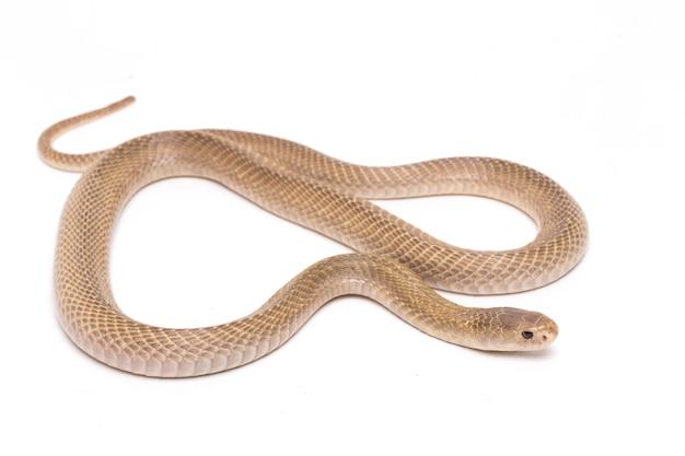 Le cobra cracheur de java sur l'espace blanc