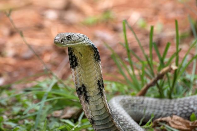 Cobra royal en colère en position d'attaque