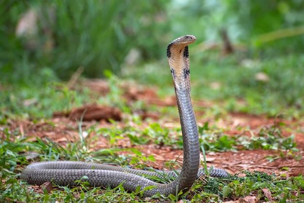 Le cobra royal (ophiophagus hannah)