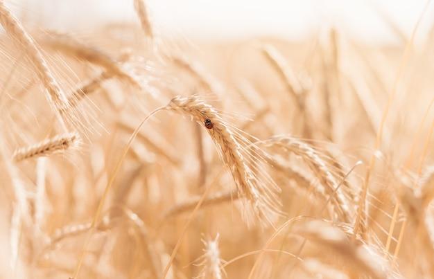La coccinelle est assise sur un épi de blé. coccinelle sur la tige sèche d'or par beau temps ensoleillé, belle nature de la campagne, saison des récoltes d'automne