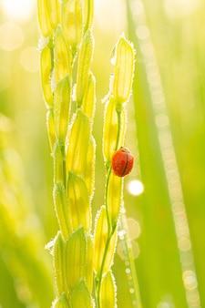 Coccinelle sur feuille vertecoccinelle courant sur brin d'herbe verte