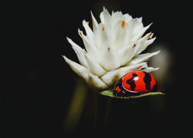 Coccinelle sur une fleur. macro.