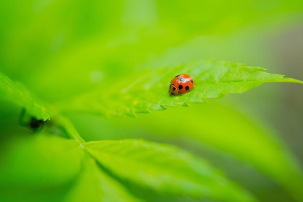 Coccinelle, insecte sur feuille verte