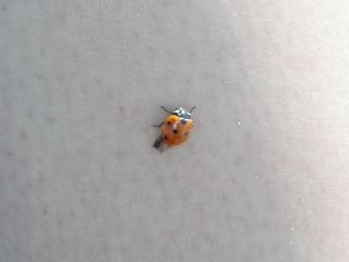 Coccinelle, insecte