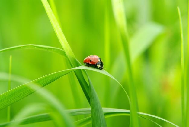 Coccinelle rouge sur l'herbe verte isolée sur vert