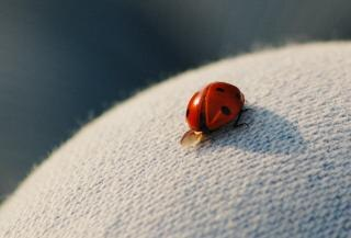 Coccinelle, rouge