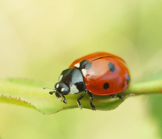 Coccinelle scarabée