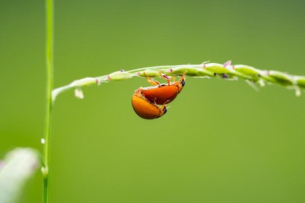 Coccinelles sur l'herbe sur fond vert flou