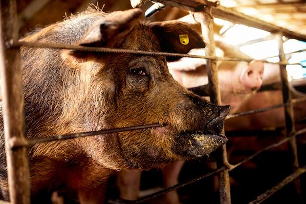 Cochon affamé mordant la grange en attente de nourriture.