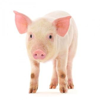 Cochon sur blanc