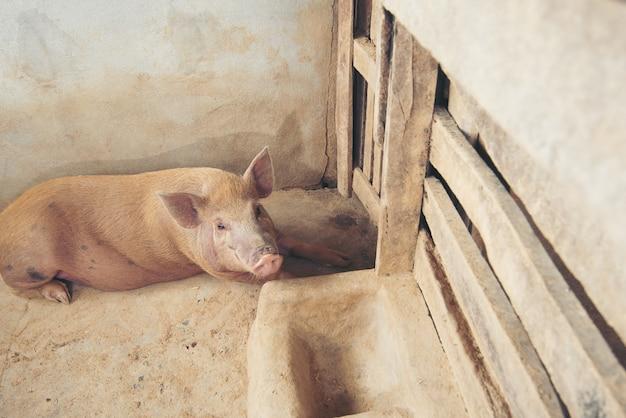Cochon dans la ferme locale