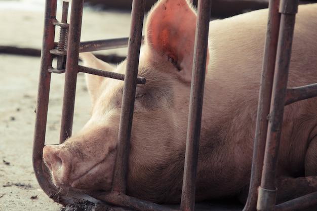 Le cochon est dans de vieux étals de fer sales.