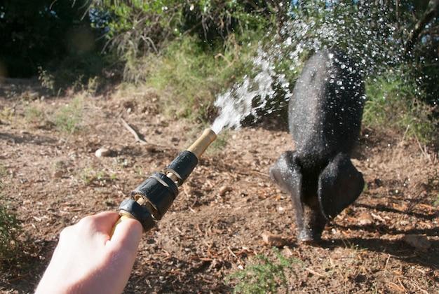 Cochon étant pulvérisé avec de l'eau
