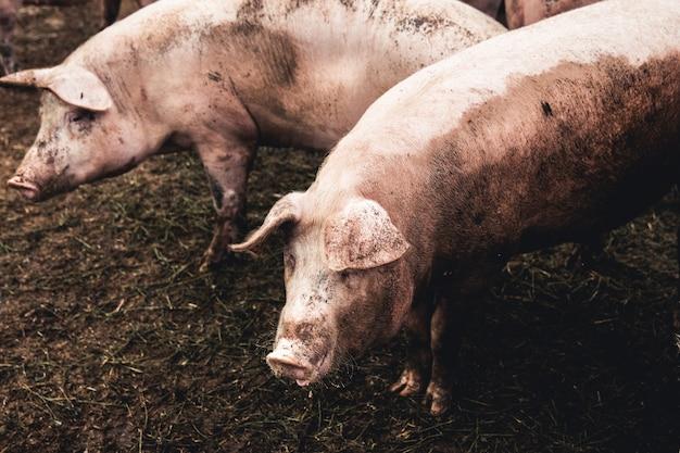 Cochon à la ferme. mauvaises conditions, animaux de compagnie
